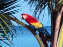 Попугай Scarlet Macaw