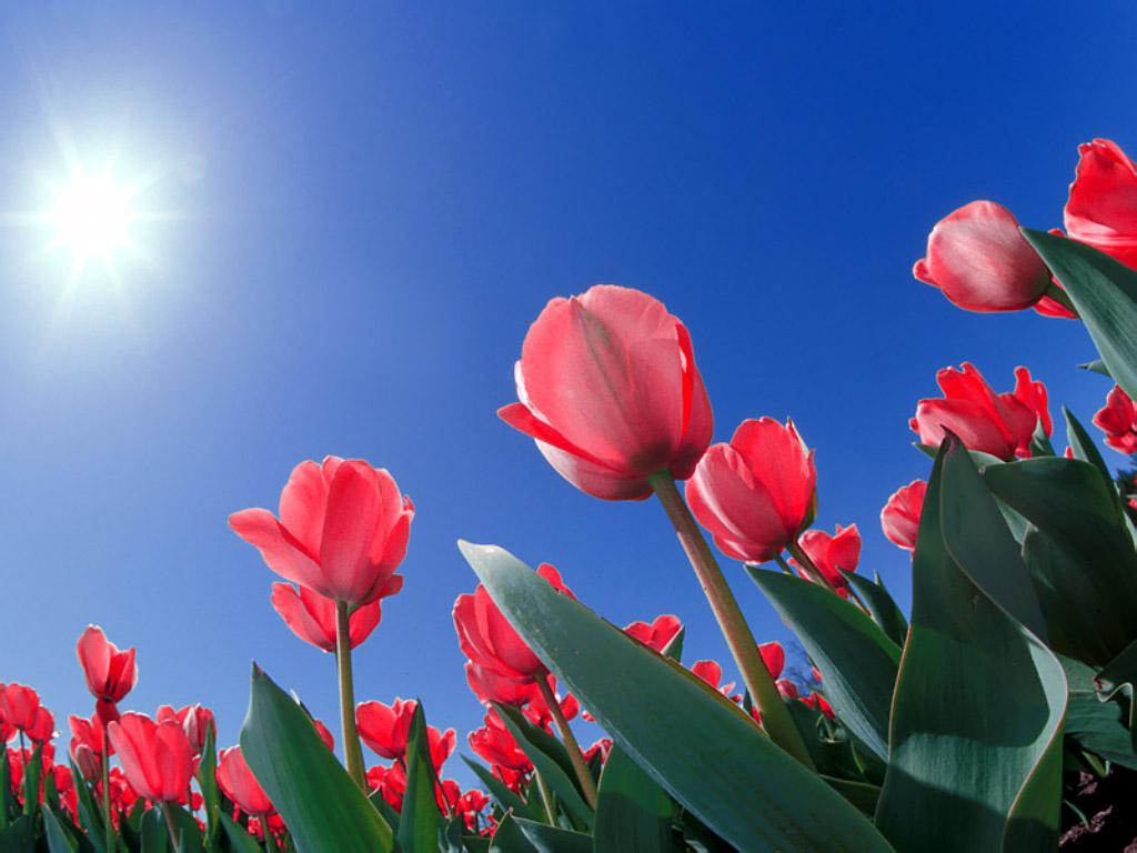 Красные тюльпаны и солнце