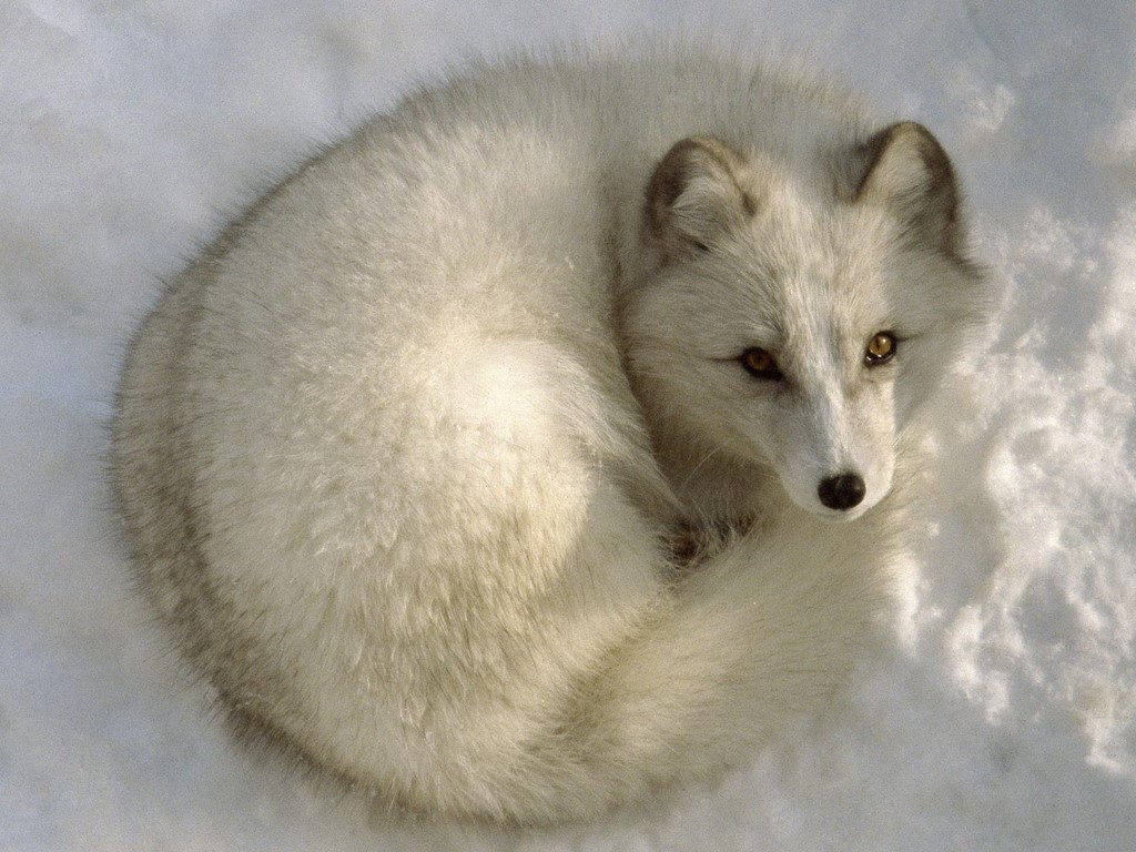 Arctic fox summer vs winter