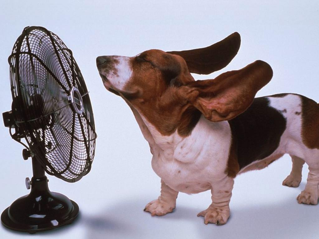 Бассет хаунд и вентилятор