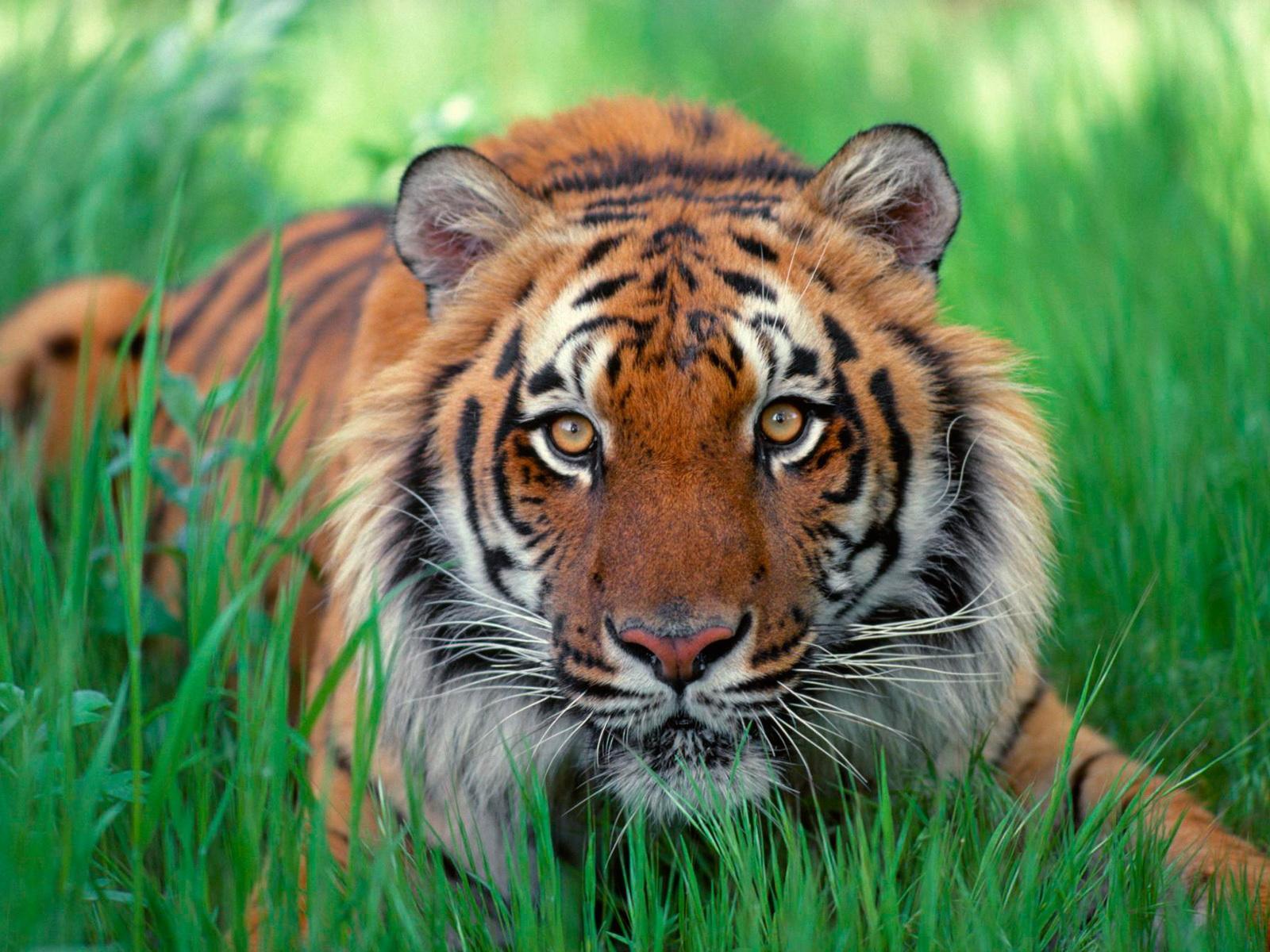 Тигр острова суматра